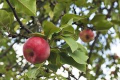 Manzanas rojas de la tentación en el manzano Primer de las manzanas Fotos de archivo libres de regalías