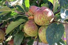 Manzanas rojas de maduración en una rama Imágenes de archivo libres de regalías