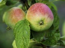 manzanas rojas dulces sabrosas frescas Fotografía de archivo libre de regalías
