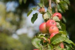 Manzanas rojas en árbol Foto de archivo libre de regalías