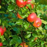 Manzanas rojas en árbol fotos de archivo libres de regalías