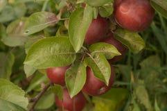 Manzanas rojas en árbol Fotos de archivo