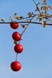 Manzanas rojas en árbol en otoño Fotografía de archivo libre de regalías