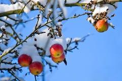 Manzanas rojas en árbol y la primera nieve Imagen de archivo libre de regalías