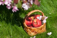 Manzanas rojas en cesta Jardín Fotografía de archivo libre de regalías