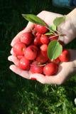 Manzanas rojas en dos manos imágenes de archivo libres de regalías