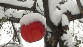 Manzanas rojas en el jardín en un árbol cubierto con nieve contra Apple en invierno con nieve imágenes de archivo libres de regalías