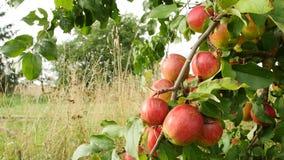 Manzanas rojas en el sol Vista cercana de las frutas de la manzana almacen de metraje de vídeo