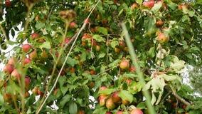 Manzanas rojas en el sol Vista cercana de las frutas de la manzana almacen de video