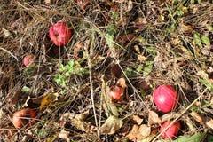 Manzanas rojas en hierba Fotos de archivo