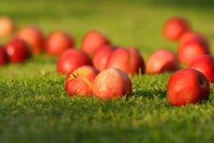 Manzanas rojas en hierba verde. Imágenes de archivo libres de regalías