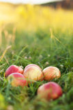 Manzanas rojas en hierba verde Imagen de archivo libre de regalías