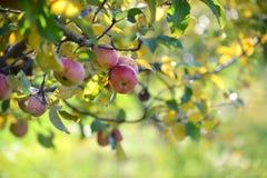 Manzanas rojas en huerta Fotos de archivo