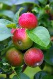 Manzanas rojas en huerta Foto de archivo