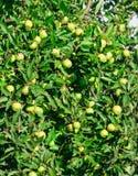 Manzanas rojas en la rama de un Apple-árbol Fotos de archivo