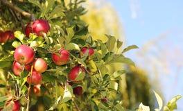 Manzanas rojas en la rama lista para ser cosechado Manzanas de Jonatán Fotos de archivo
