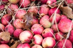 Manzanas rojas en la tierra Imagen de archivo