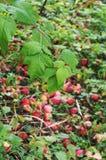 Manzanas rojas en las hojas de la tierra y de la frambuesa imagen de archivo