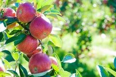 Manzanas rojas en rama de árbol Fotos de archivo