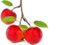 Manzanas rojas en rama del manzano Fotografía de archivo