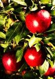 Manzanas rojas en rama del manzano. Pila de manzanas rojas con verde Imagen de archivo libre de regalías