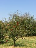 Manzanas rojas en un appletree con el cielo azul claro fotos de archivo libres de regalías
