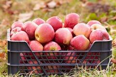 Manzanas rojas en un embalaje imagen de archivo