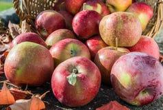 Manzanas rojas en una cesta con las hojas de otoño Front View imagen de archivo libre de regalías