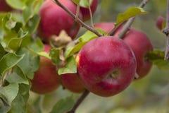 Manzanas rojas en una rama Fotos de archivo