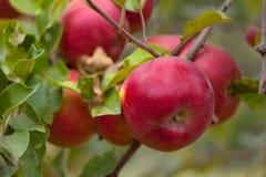Manzanas rojas en una rama Imagen de archivo libre de regalías