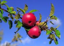 Manzanas rojas en una rama contra el cielo azul Foto de archivo