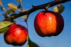 Manzanas rojas en una ramificación Foto de archivo libre de regalías