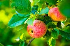 Manzanas rojas frescas en rama del manzano Imágenes de archivo libres de regalías