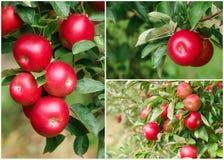 Manzanas rojas maduras en el collage fotos de archivo