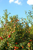 Manzanas rojas maduras en rama del manzano imágenes de archivo libres de regalías