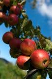 Manzanas rojas maduras en un árbol con el cielo azul en el fondo Foto de archivo libre de regalías