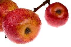Manzanas rojas, mojadas aisladas en la ramificación imágenes de archivo libres de regalías