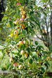 Manzanas rojas que crecen en árbol Foto de archivo libre de regalías