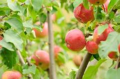 Manzanas rojas que crecen en el manzano Imágenes de archivo libres de regalías