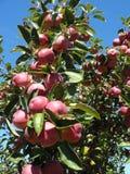 Manzanas rojas que crecen en un árbol Fotografía de archivo