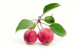 Manzanas rojas salvajes Fotos de archivo libres de regalías
