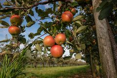 Manzanas rojas y maduras que cuelgan de una rama de árbol Foto de archivo