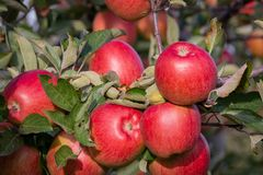 Manzanas rojas y maduras que cuelgan de una rama de árbol Imágenes de archivo libres de regalías
