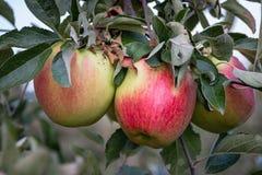 Manzanas rojas y maduras que cuelgan de una rama de árbol Imagen de archivo libre de regalías