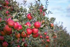 Manzanas rojas y maduras que cuelgan de una rama de árbol Fotografía de archivo libre de regalías