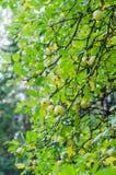 Manzanas salvajes Foto de archivo libre de regalías