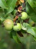 Manzanas salvajes Fotos de archivo