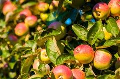 Manzanas salvajes Imagen de archivo libre de regalías