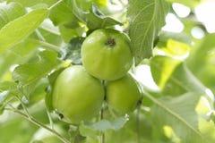Manzanas salvajes del bosque Imagenes de archivo