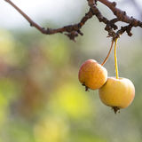 Manzanas salvajes en el árbol Imagenes de archivo